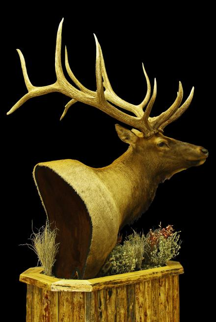 LeRoy's Utah Little Red Creek Ranch Bull  Game Trails Taxidermy